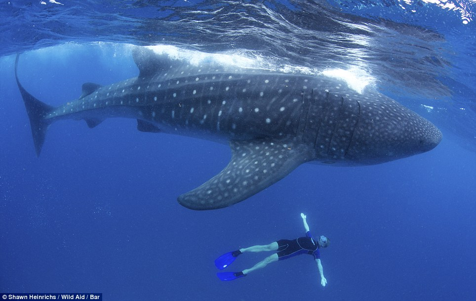 Giant Whale Shark http://www.lobshots.com/2012/08/06/insane-photos-of-whale-sharks/